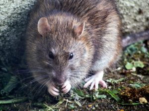 to provide rat control service in bali to get rid of rats